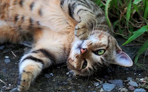 Picture cat, grass, cat, look, face, pose, stones, grey, background, stay, paws, lies, striped, green eyes