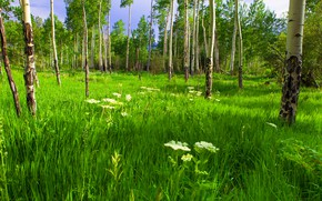 Picture forest, summer, grass, trees, flowers, trunks, glade, meadow, lawn, aspen, juicy greens