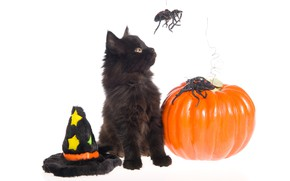 Picture cat, holiday, black, spiders, hat, white background, Halloween, pumpkin, Halloween, kitty, cap