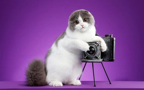 Picture cat, look, pose, kitty, background, lilac, fold, muzzle, the camera, photographer, is, stand, the camera, …