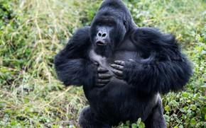 Picture facial expressions, runs, gorilla, nature