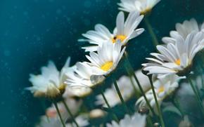 Picture flowers, chamomile, treatment, white, bokeh, photoart, leucanthemum