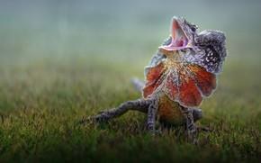 Picture lizard, lizard, Fahmi Bhs