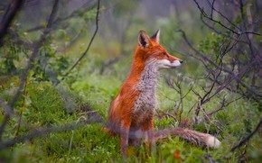 Picture forest, grass, red, Fox