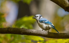 Picture branches, background, bird, bokeh, Jay