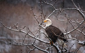 Wallpaper winter, look, snow, branches, nature, pose, background, tree, bird, eagle, snowfall, bald eagle, sitting in ...