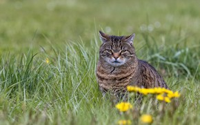 Picture grass, cat, look, flowers, Kote, serious