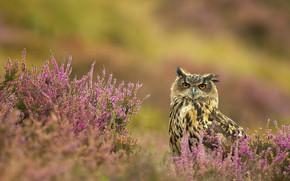 Picture flowers, owl, bird, owl, Heather