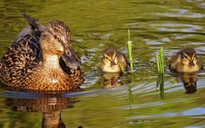 Picture water, ducklings, duck