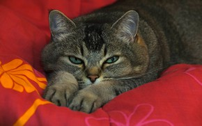 Picture cat, cat, look, face, red, pose, grey, background, paws, bed, lies, blanket, striped, green eyes, …