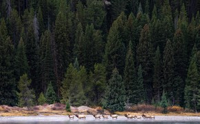 Picture forest, trees, river, deer