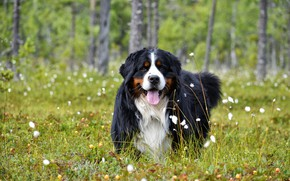 Picture forest, language, summer, look, face, flowers, nature, pose, dog, meadow, walk, Bernese mountain dog