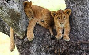 Wallpaper look, cats, pose, background, tree, stay, sleep, paws, sleeping, lies, trunk, bark, kids, wild cats, ...