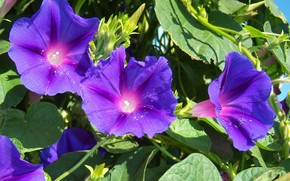Picture flowers, purple, bindweed, Mamala ©