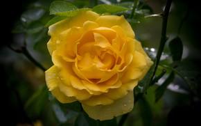 Picture macro, rose, yellow