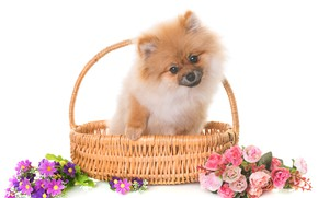 Picture look, flowers, baby, puppy, sitting, basket