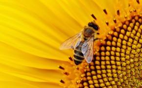 Picture flower, bee, pollen, sunflower