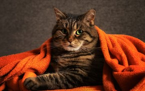 Picture cat, look, fabric, plaid