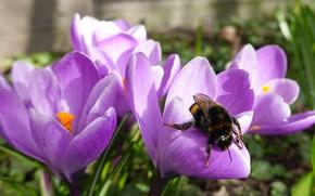 Picture spring, crocuses, bumblebee
