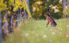 Picture nature, pose, glade, the fence, hare, stand, bokeh