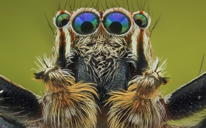 Picture eyes, macro, background, portrait, spider, hairs, insect