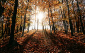 Picture The sun, Nature, Autumn, Trees, Forest, Rays, Nature, Blik, Landscape, Autumn, Forest, Trees, Woods, Environment, …