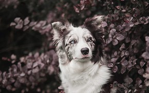 Picture eyes, look, face, leaves, branches, nature, background, Bush, portrait, dog, garden, beauty, Australian shepherd, spotted, ...