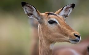 Picture nature, Impala, antelope