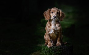 Picture forest, the dark background, stump, dog, puppy, sitting, Spaniel