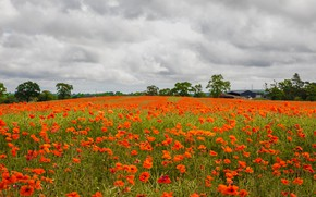 Picture field, summer, clouds, flowers, Maki, red, house, province, poppy field