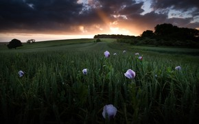 Picture field, the sky, rays, trees, landscape, sunset, flowers, clouds, nature, Maki, the evening, cereals