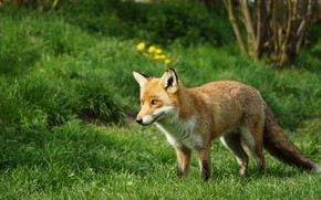 Picture greens, summer, grass, flowers, nature, Fox, walk, Fox, hill