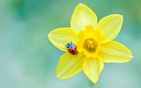 Picture flower, macro, yellow, red, green, background, ladybug, beetle, blur, insect, bug, Narcissus