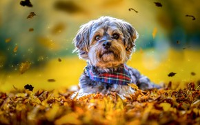 Picture autumn, look, leaves, yellow, nature, background, mood, sweetheart, foliage, portrait, eyes, dog, puppy, lies, spout, ...