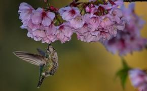 Picture cherry, branch, Hummingbird, bird, flowering, flowers, bokeh, Calypte Anna