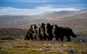 Picture field, dogs, the sky, look, landscape, mountains, nature, pose, dog, haze, company, friends, Quartet, four, …