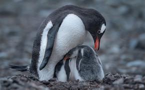 Picture snow, birds, penguins, chick, bokeh, Antarctica, penguin, Mike Reifman