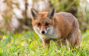Picture grass, look, nature, pose, glade, red, Fox, face, bokeh, Fox, Fox
