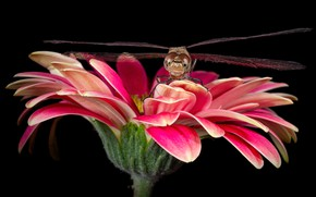 Picture flower, look, macro, pink, dragonfly, petals, insect, black background, gerbera