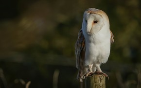 Picture background, owl, bird, the barn owl