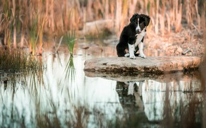 Picture grass, water, reflection, stone, dog, baby, puppy, pond, the border collie