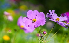 Picture summer, flowers, bee, pink, lilac, bokeh, cosmos