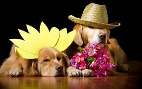 Picture dogs, flowers, portrait, dog, bouquet, hat, petals, pair, costume, black background, two, a couple, photoshoot, …