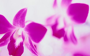 Picture flower, nature, petals, Orchid