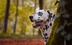 Picture autumn, forest, language, look, face, trees, nature, Park, background, dog, Dalmatians, bokeh
