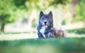 Picture nature, dog, grey, Shiba inu