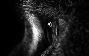 Picture white, black, eyes, cat