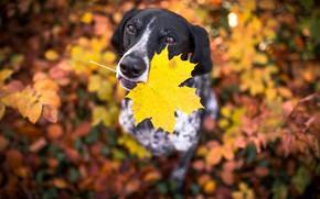 Picture autumn, sheet, each, dog