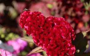 Picture flowers, scallop, celosia