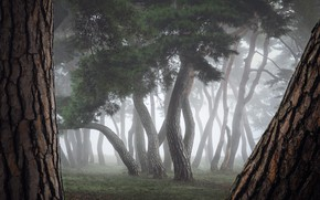 Picture trees, nature, fog, trunks, Merz Nathaniel